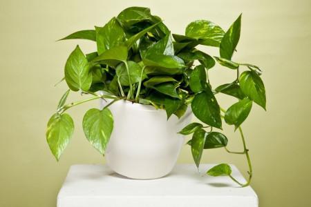 پوتوس _ این گیاه کم توقع و مقاوم را بیشتر بشناسید