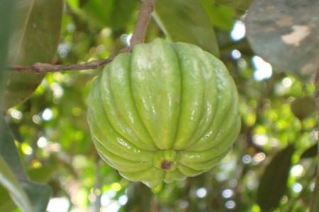 ۸ خاصیت بی نظیر گارسینیا کامبوجیا بر روی سلامتی بدن