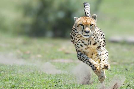 جنجال بیهوش کردن یوزپلنگ ها در پردیسان