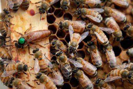 کشف جدید دانشمندان : صدای زنبور ملکه ضبط و ترجمه شد
