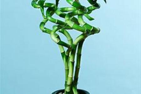 با خواص درمانی گیاه بامبو بیشتر آشنا شویم