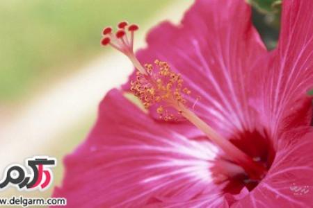 آشنایی با خواص جالب گل ختمی