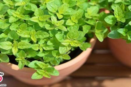 آشنایی با خواص گیاه بی نظیر مرزنجوش