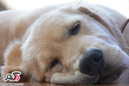 درمان بیماری دیستمپر سگ