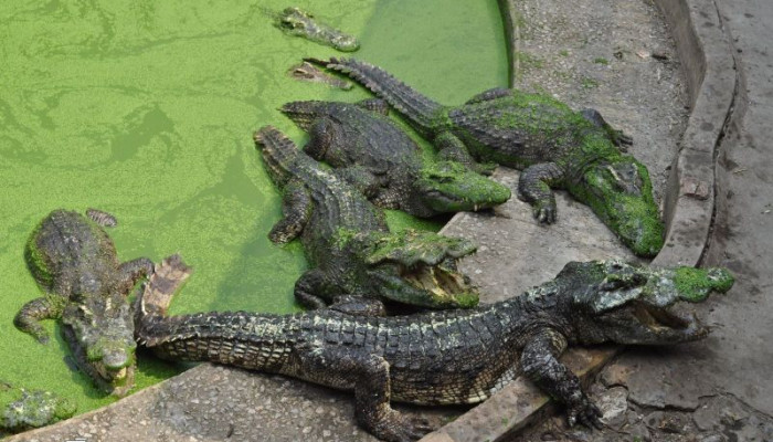 مزرعه تمساح بانکوک-Thailand Crocodil Farm In Bankok