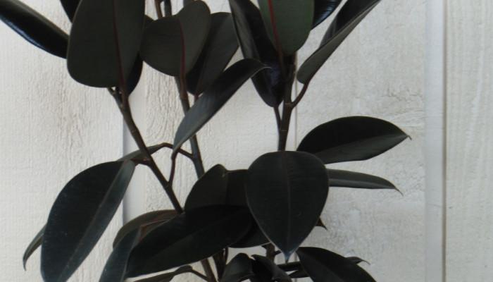 تکثیر و نگهداری گیاه فیکوس الاستیکا