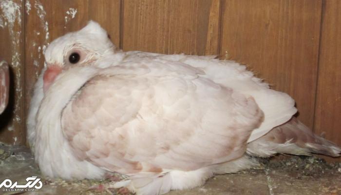علت و درمان نیوکاسل گوارشی کبوتر(باد کردن چینه دان کبوتر)