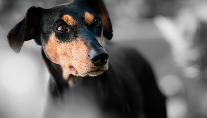 7 راه تشخیص عفونت چشم در سگ