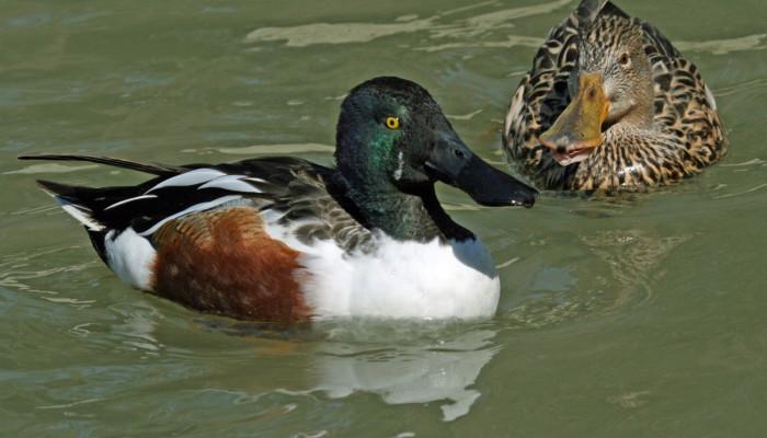 مشخصه که اصلی اردک نوک پهن ، نوک پهن این گونه است