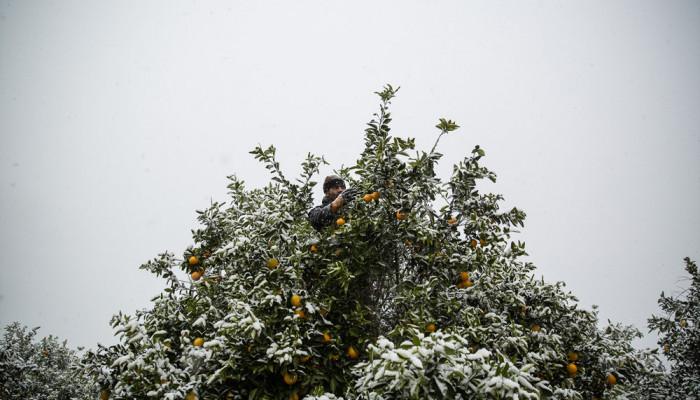تصاویر خسارت دیدن باغات مرکبات مازندران از بارش برف پاییزی