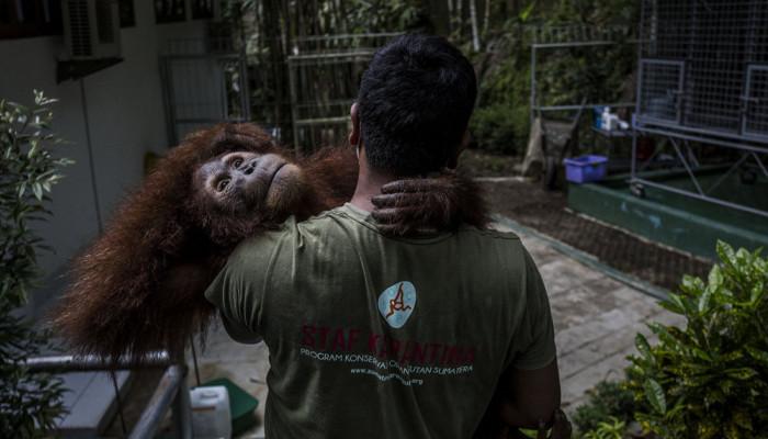 تصاویر مرکز توانبخشی اورانگوتان ها در اندونزی