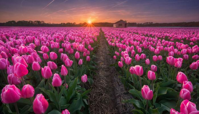 تصاویر مزارع گل در هلند