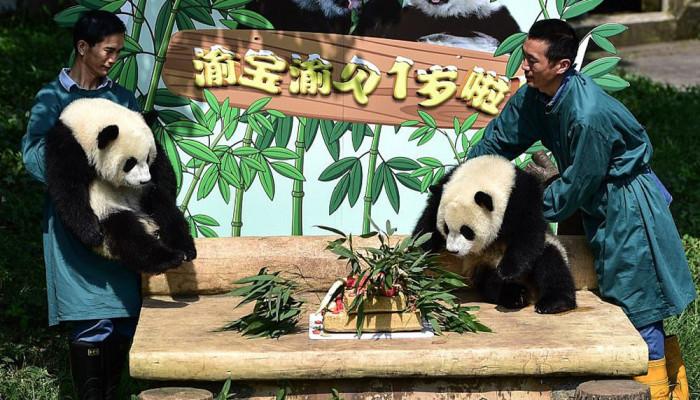 تصاویر جشن تولد پانداهای چینی