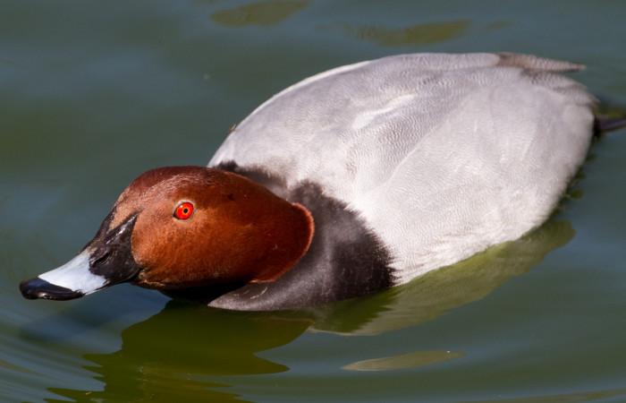 معرفی کامل از اردک سرحنایی