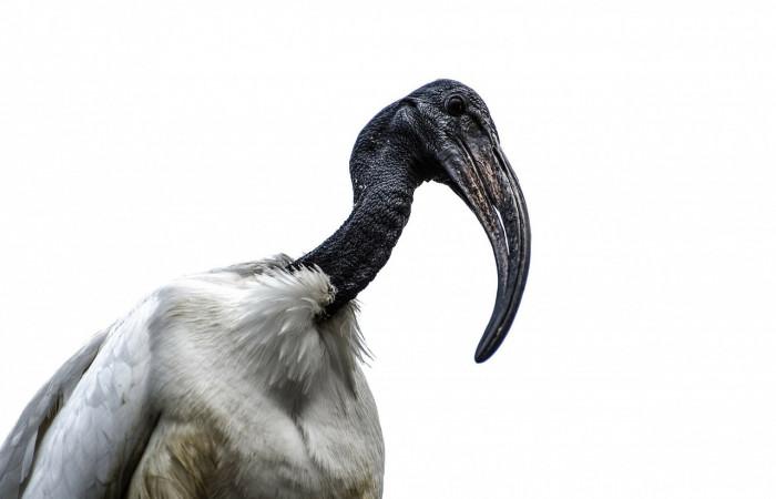 اکراس آفزیقایی سر و گردن بدون پر و پرهای سفید و نوک شابالهای مشکی دارد