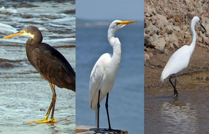اگرتها از نظر ظاهری شبیه به مرغ ماهیخوار بوده و دارای گردنی دراز و پاهایی بلند میباشند