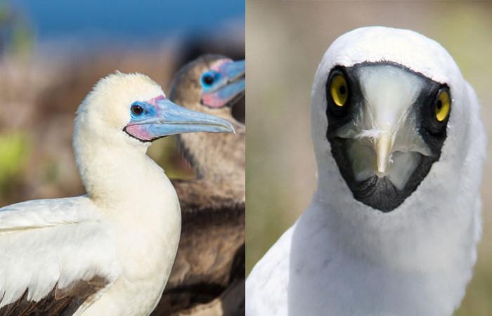 معرفی پرنده ی دریازی به نام بوبی