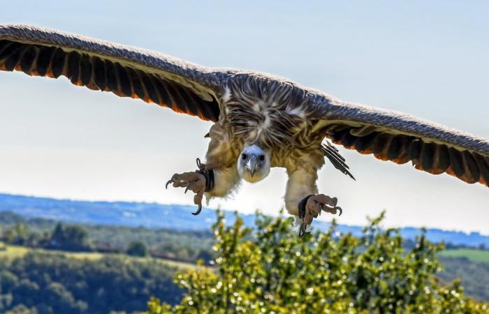 کرکس گریفون طرح بدنش در حال پرواز با لاشخورهای دیگر فرق دارد