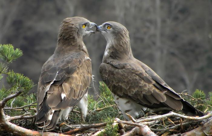 عقاب مار خور شکاری با سر گرد و بزرگ، سطح شکمی سفید و پشت تیره است