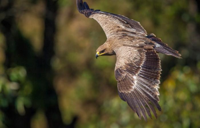 مشخصات عقاب صحرایی لکه زرد رنگی انتهای منقارش و رنگش قهو ه ای تیره است