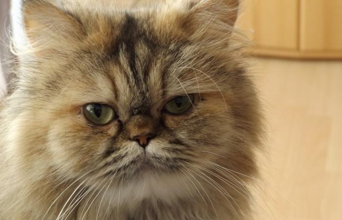علائم ، پیشگیری و درمان سرطان در گربه