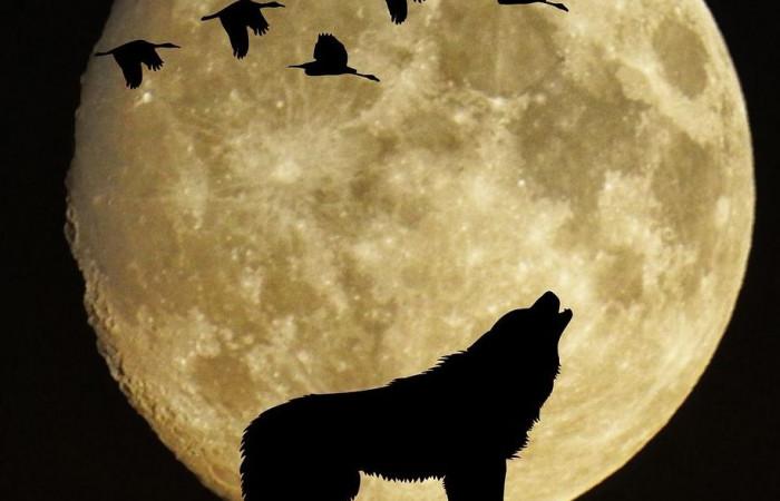 آنچه که تا به حال در مورد گرگها نمیدانستید