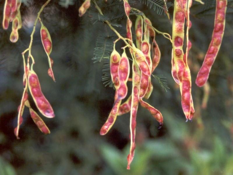 چه میزان برگ موز و دانه آکاسیا باعث سقط جنین می شود؟