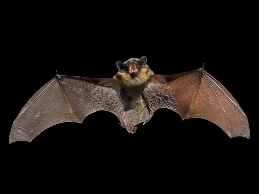 خواص و فواید شفا بخش خفاش ها در علم پزشکی !