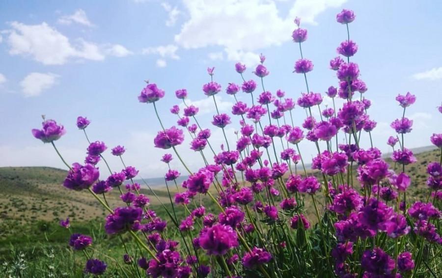همه چیز در مورد خاصیت گل اروانه +  دمنوش گل اروانه