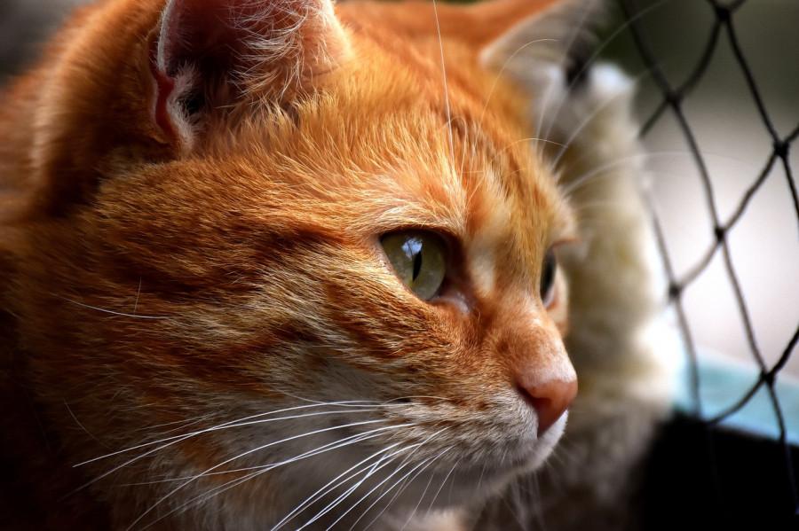بیماری پریتونیت بیماری کشنده گربه سانان