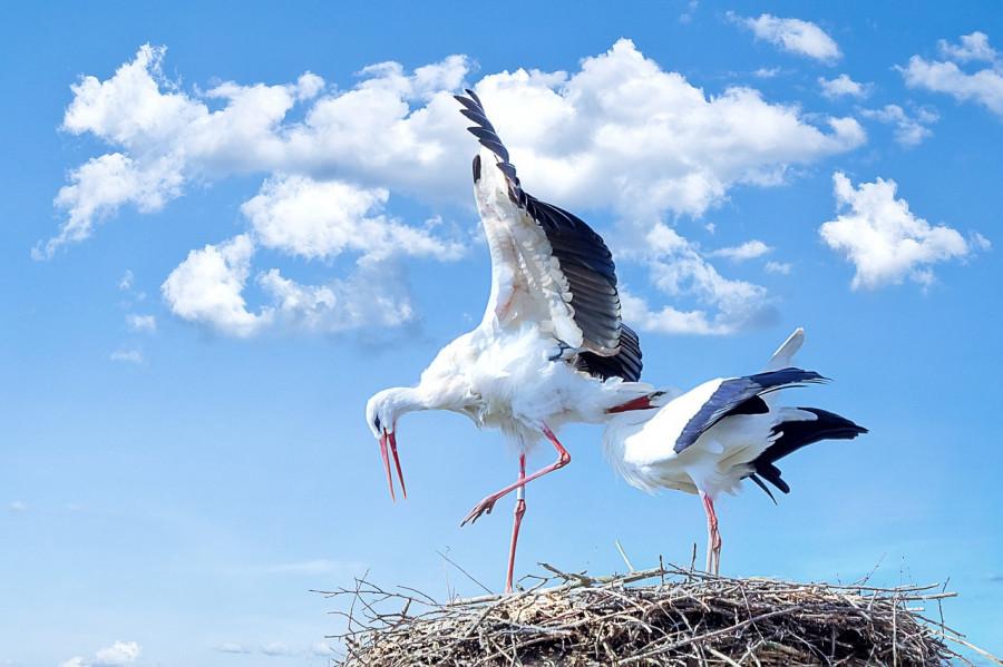 پرندهٔ بزرگی است که گردن بلند، منقار بلند قرمزرنگ، پاهای بسیار بلند قرمز رنگ، بال های بلند و پهن و دمی کوتاه دارد.
