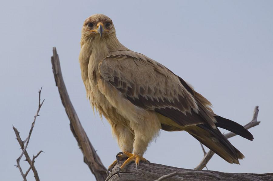 عقاب خاکی منقاری بزرگ و بال هایی نسبتا پهن دارد.