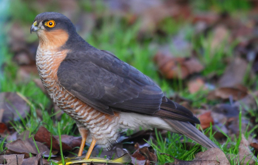 قرقی از پرندگان شکاری کوچک جثه محسوب می شود