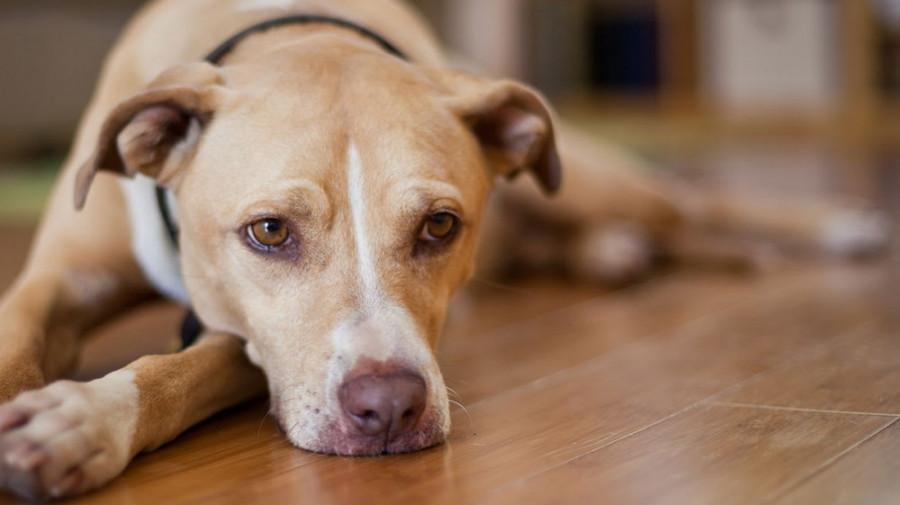 بیماری عفونی در سگ سانان به نام هپاتیت (ICH)