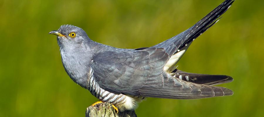 زندگی کوکو سانان ، جوجه های کوکو چه پرندهای بزرگ می کند؟