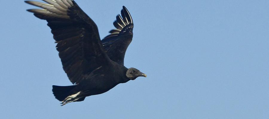 دال سیاه جثه اش بسیار بزرگ و از نظر اندازه و شکل شبیه کرکس با این تفاوت ، که پرو بالش کاملا سیاه و دمش سه گوش و بلندتر است