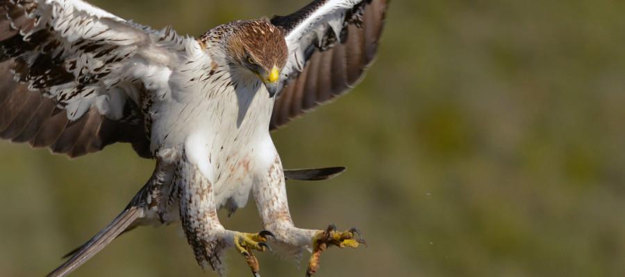 عقاب دو برادر پرنده اي است مهاجم، در پرواز فوق العاده سريع و چالاك است و مانند شاهين بر سر طعمه فرود مي آيد.