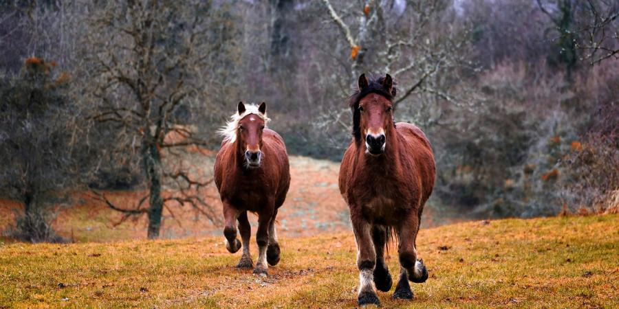 متورم شدن نقطه چرکی در اسب نشان آبسه در اسب است