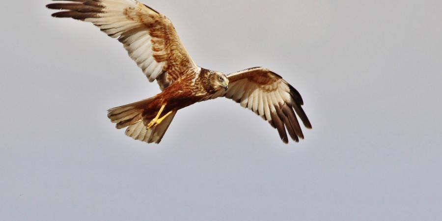 سنقر تالابی پرنده ی شکاری که از دیگر سنقرها بزرگتر و درشت جثه تر است .