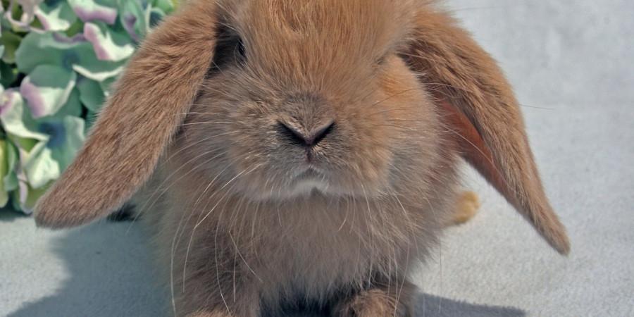 علت ریزش موی خرگوش 3 عامل اصلی دارد