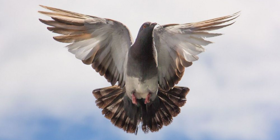 درمان شکستگی و در رفتگی کتف و بال کبوتر