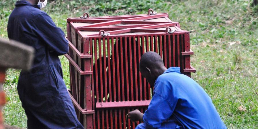 تصاویر گوریل های رواندا